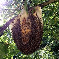 d sinsectisation et enl vement de nids d 39 abeilles bourdons gu pes frelons apiculture. Black Bedroom Furniture Sets. Home Design Ideas